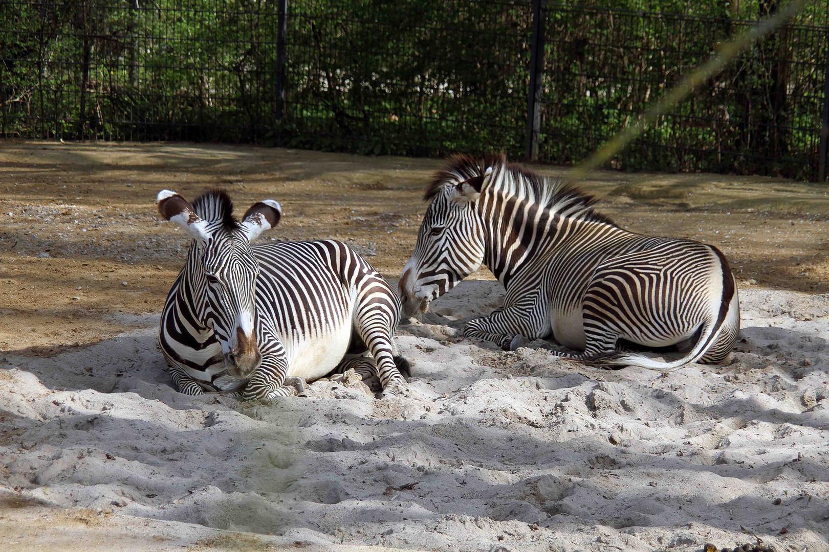 Liegende Zebras in der Abendsonne