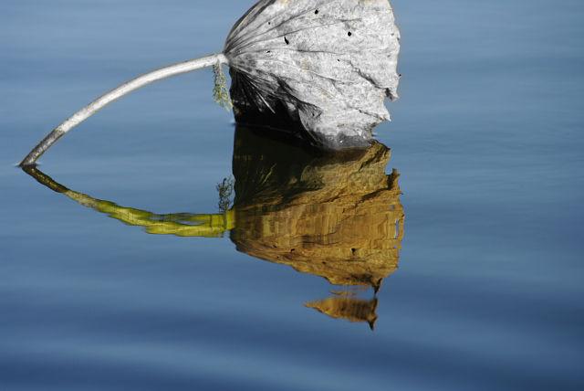 life reality of a lotus leaf / (Reality - Kaye-Ree)
