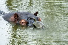 Life´s  a Beach Said the Terrapin And Landed on a Hippo.