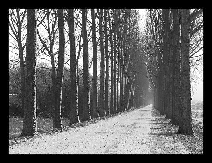 Light snowfall on poplar alley (greytones)