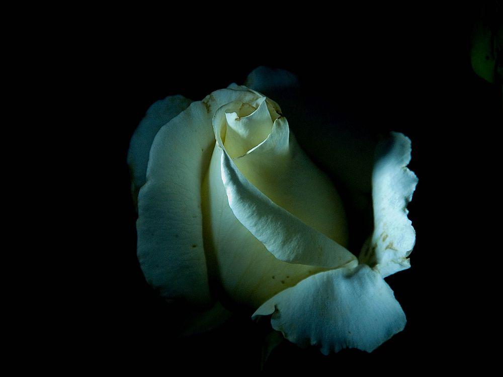 lightning rose von Wogram René