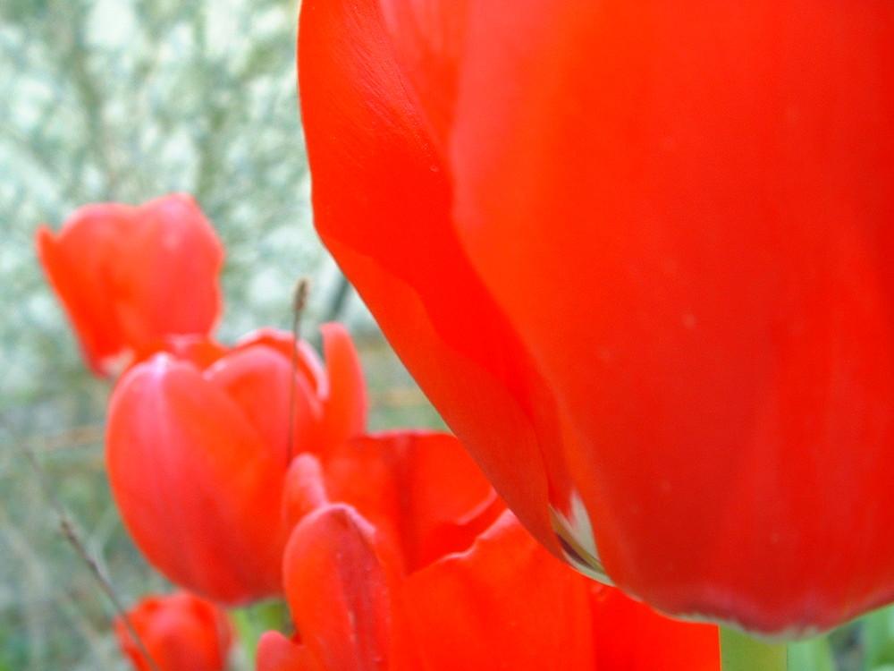 lignée de tulipes