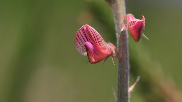 Lignée rose