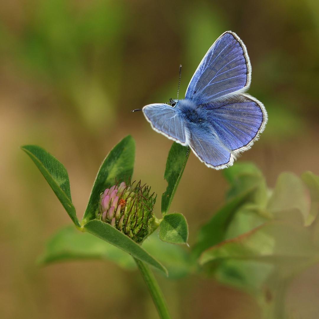 Like blue velvet