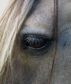 l´œil du cheval blanc