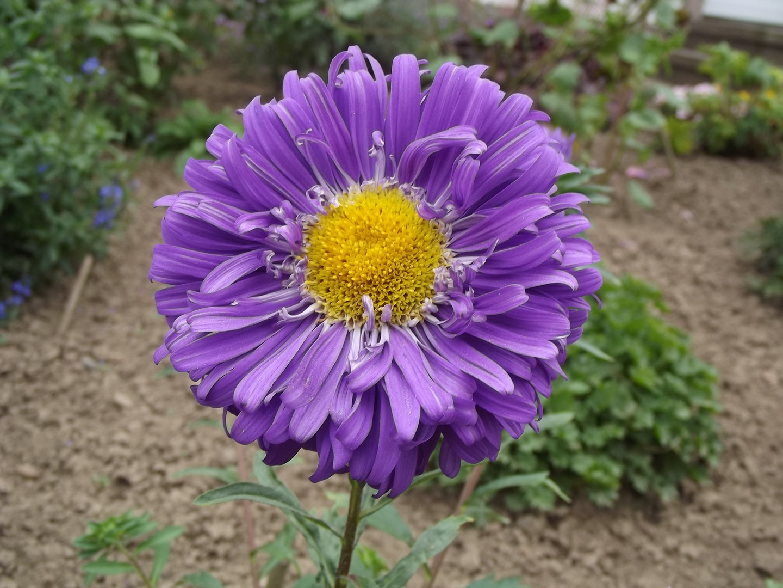 Lila Aster (Blume)