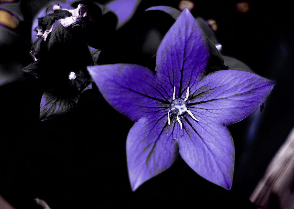 lila bl te foto bild pflanzen pilze flechten. Black Bedroom Furniture Sets. Home Design Ideas