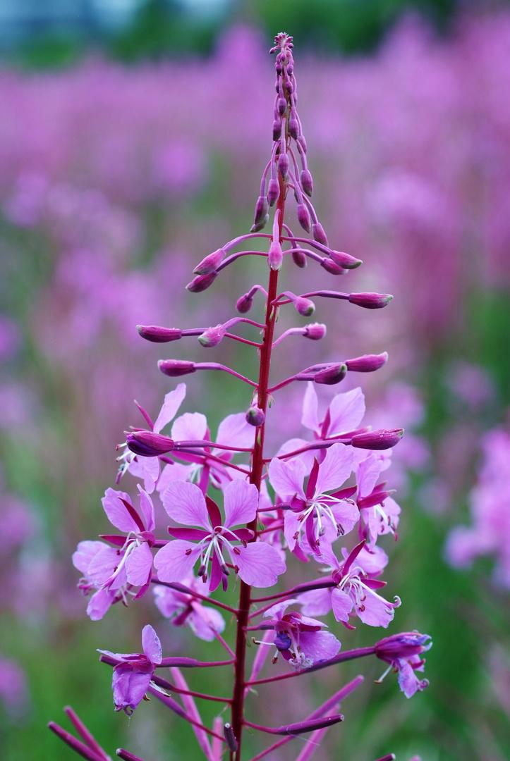 Lila Blüte, wie nennt sich diese Pflanze ?