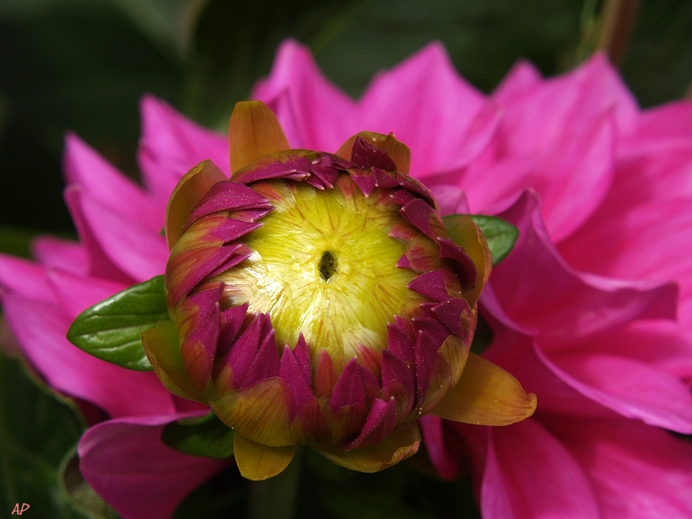 Lila Blütenkranz (1)