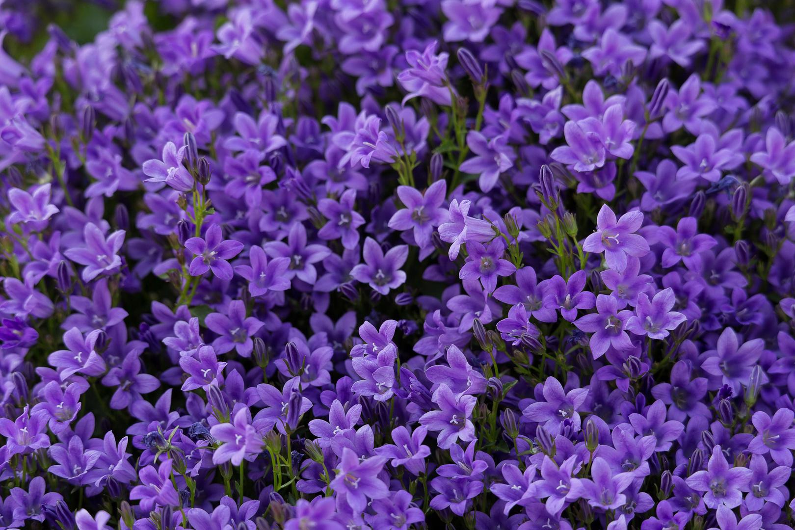 lila blumen foto bild pflanzen pilze flechten bl ten kleinpflanzen gartenpflanzen. Black Bedroom Furniture Sets. Home Design Ideas