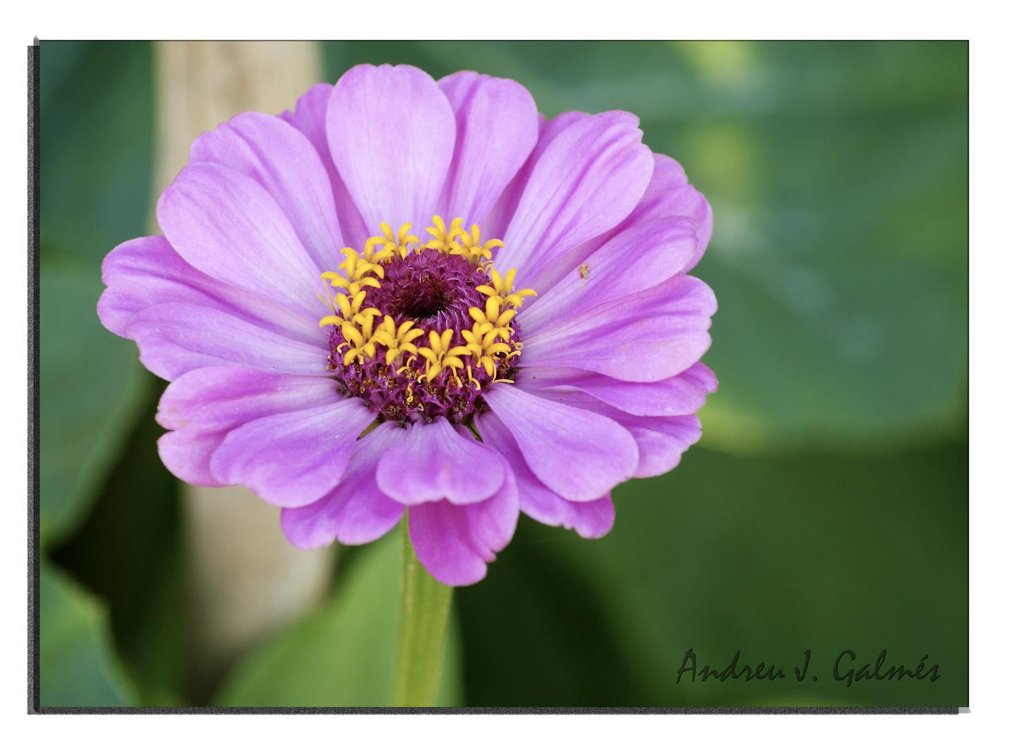 Lila - flor