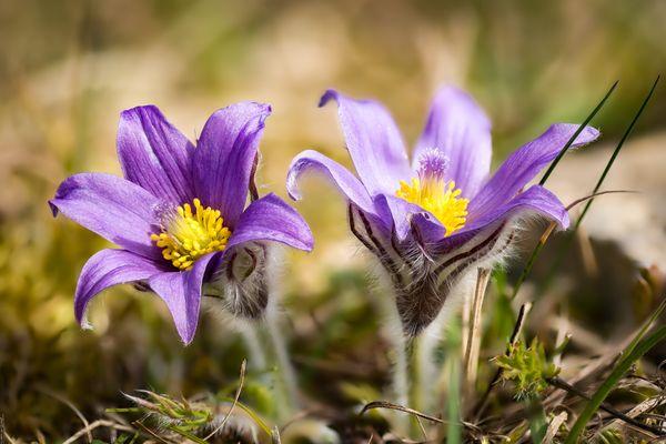 Lila Frühling