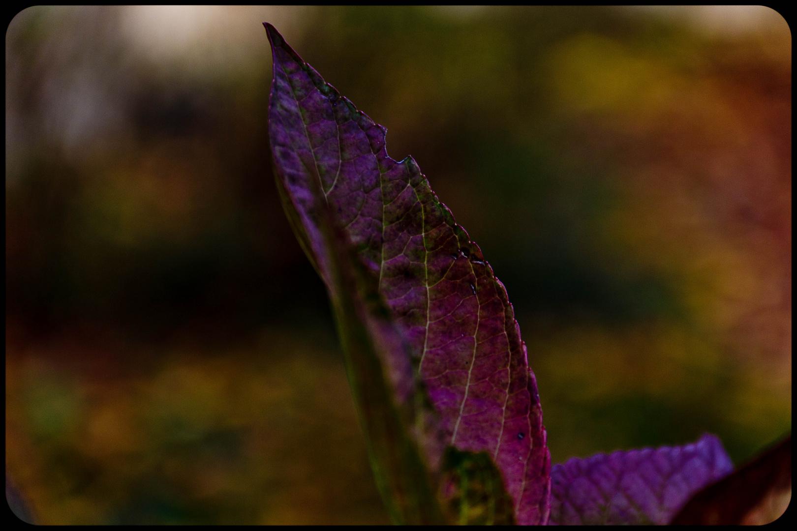 lila herbst