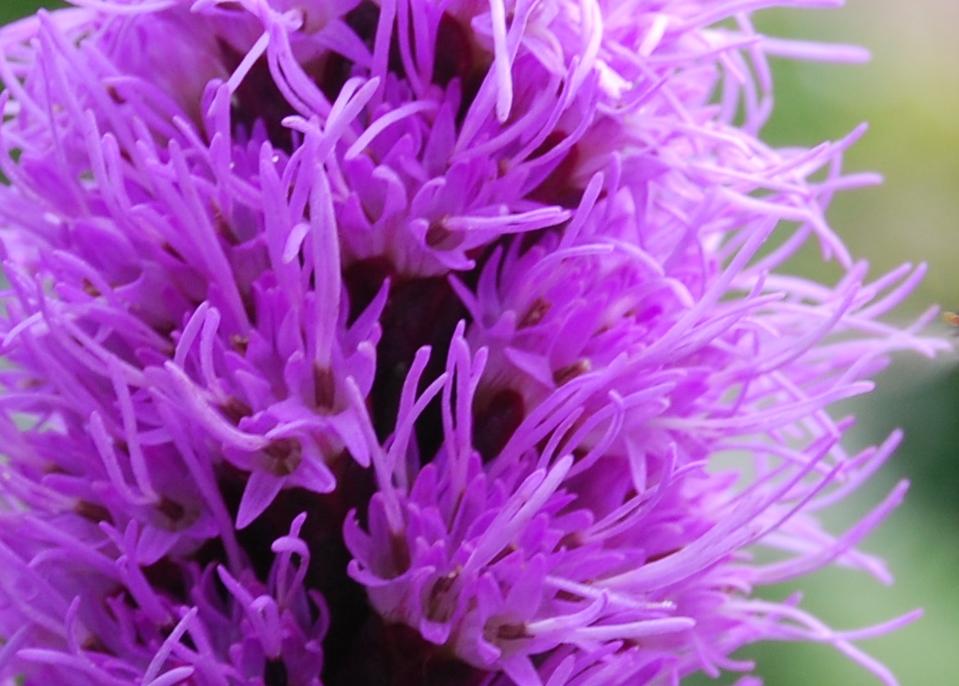Lila Korallenblume