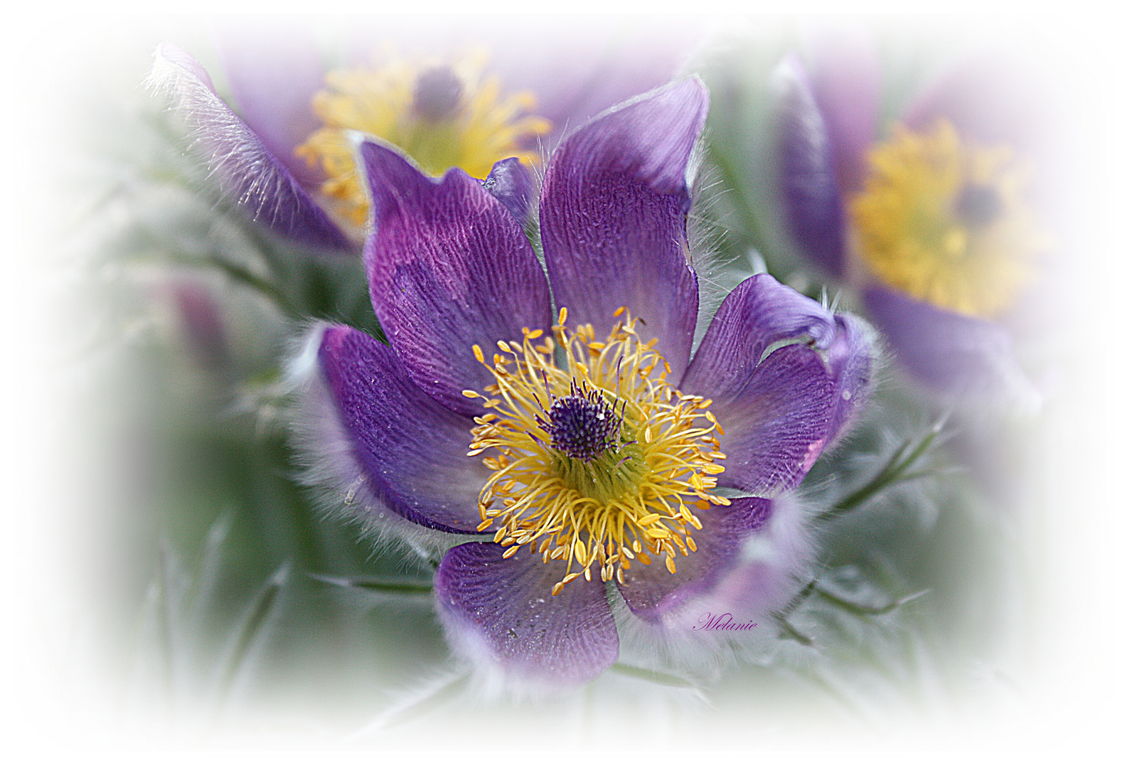 Lila Laune Blume