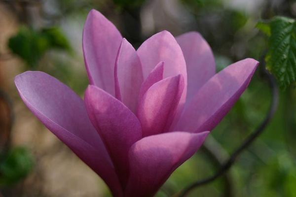 lila Magnolie