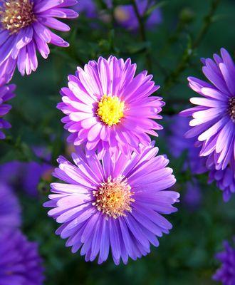 lila NICHT Gänseblümchen