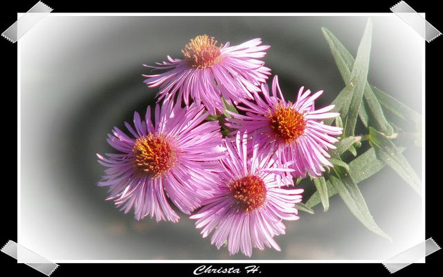 Lila oder rosa