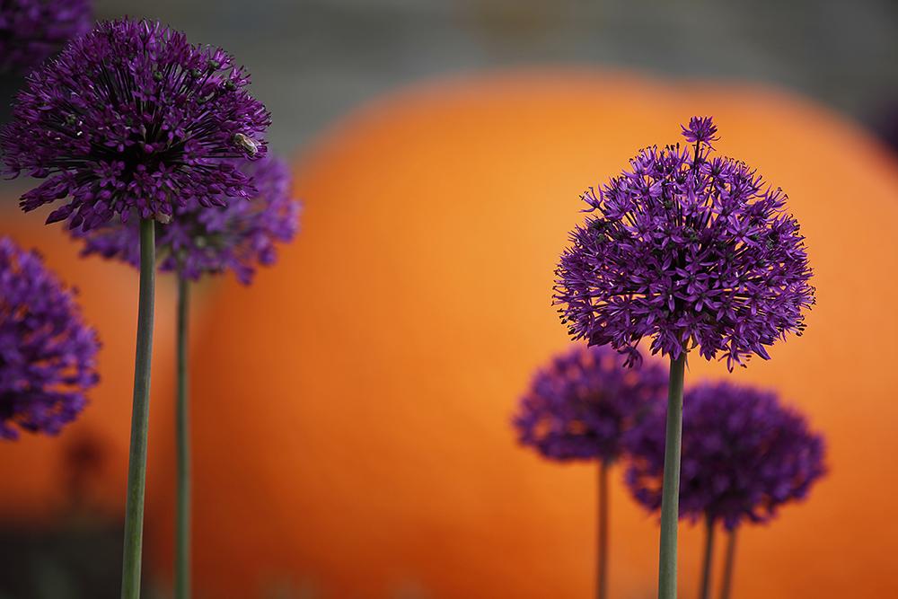 Lila-orange