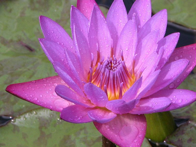 lila Seerose