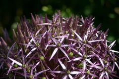 lila Sternalium im Sonnenlicht