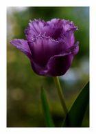 Lila - Tulpe