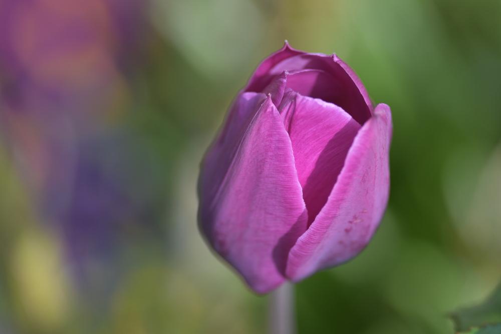 lila tulpen im garten foto bild pflanzen pilze flechten bl ten kleinpflanzen tulpen. Black Bedroom Furniture Sets. Home Design Ideas