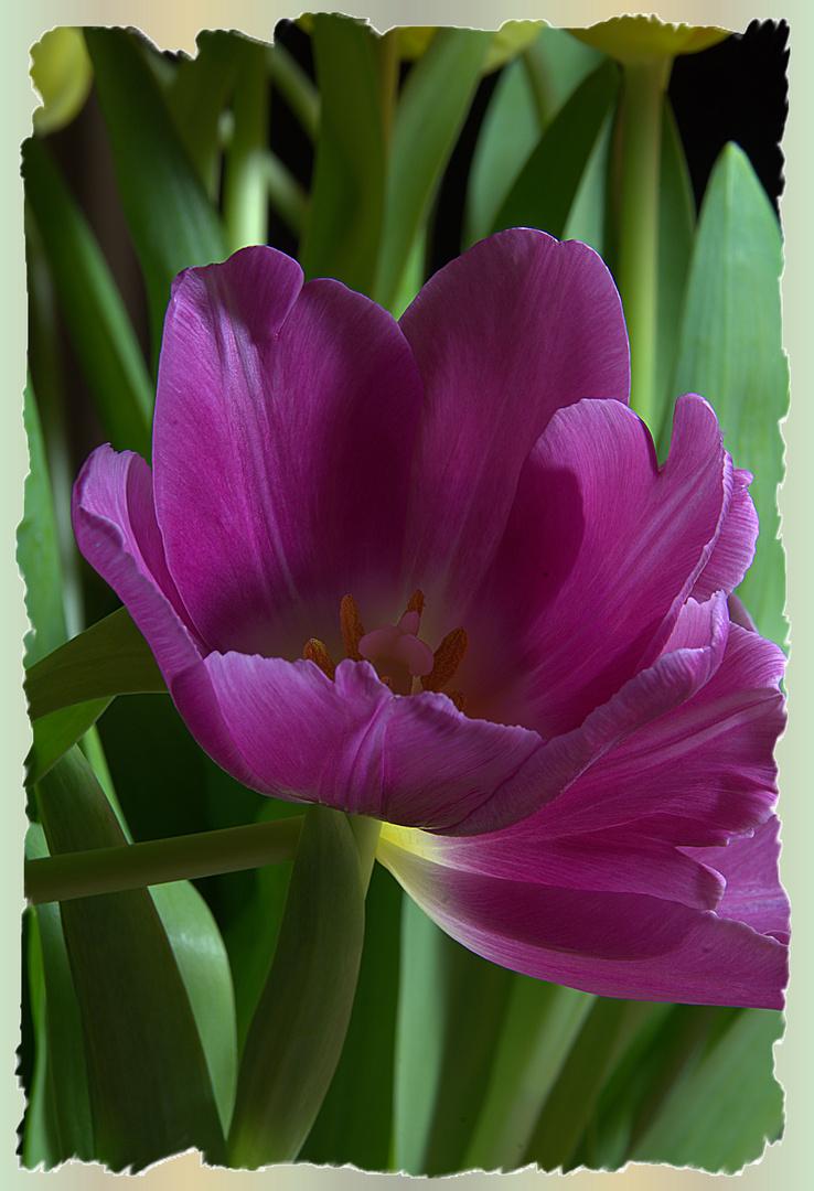 Lila Tulpenblüten