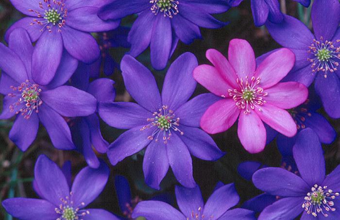 lila und rosa