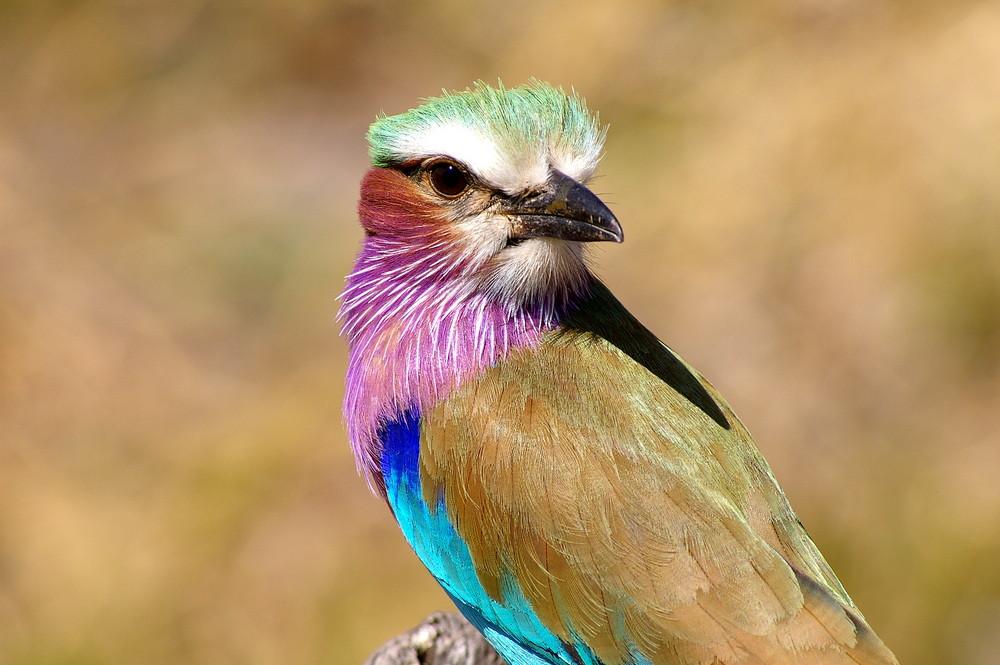 Lilac Breasted Roller (Gabelracke)