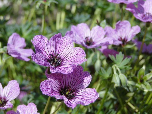 lilafarbener Grauer Garten-Storchenschnabel