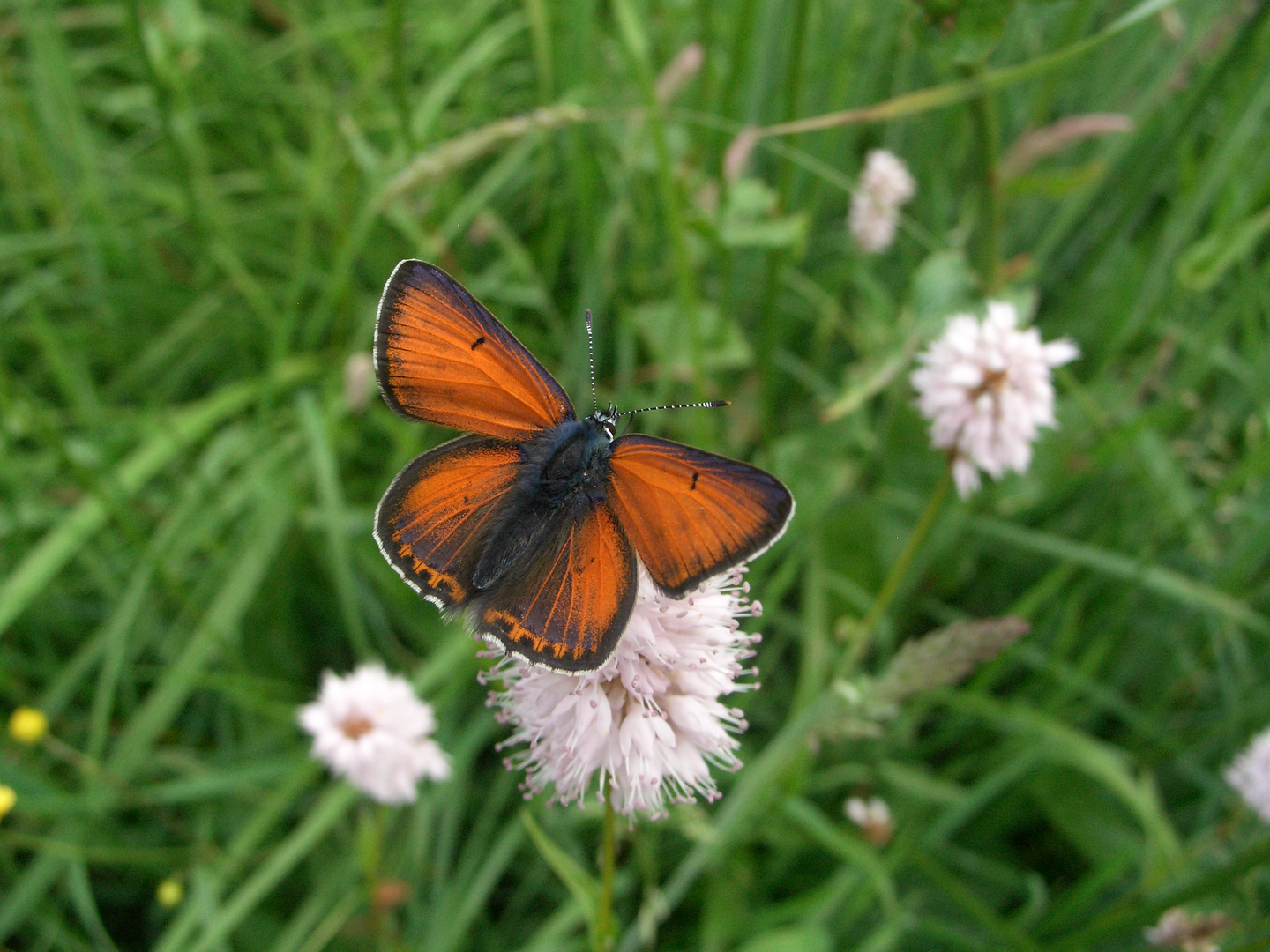 Lilagold-Feuerfalter (Lycaena hippothoe)