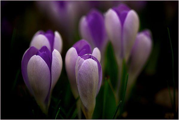 Lilamittwochsfrühlingsblümchen ...