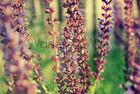 Lilane Blumen