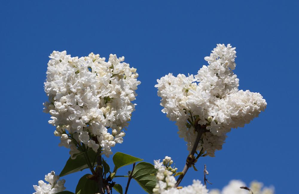 lilas blancs mais pas de cerisiers roses
