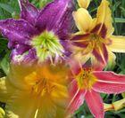 Lileien in verschiedenen Farben