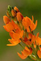 Liliacea - Ornithogalum 2 ...