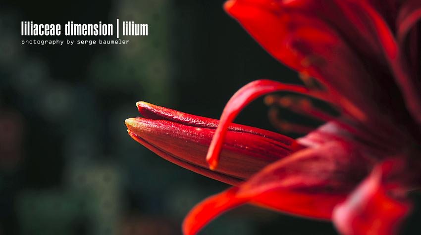 Liliaceae Dimension | Lilium #5