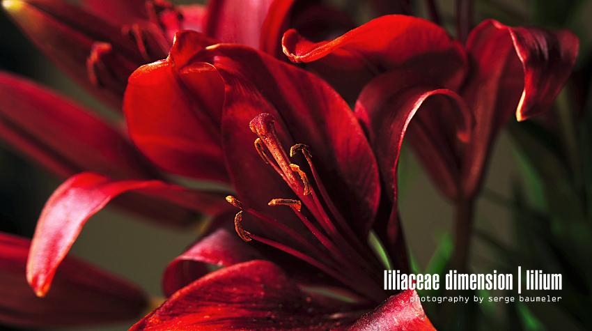 Liliaceae Dimension | Lilium #6