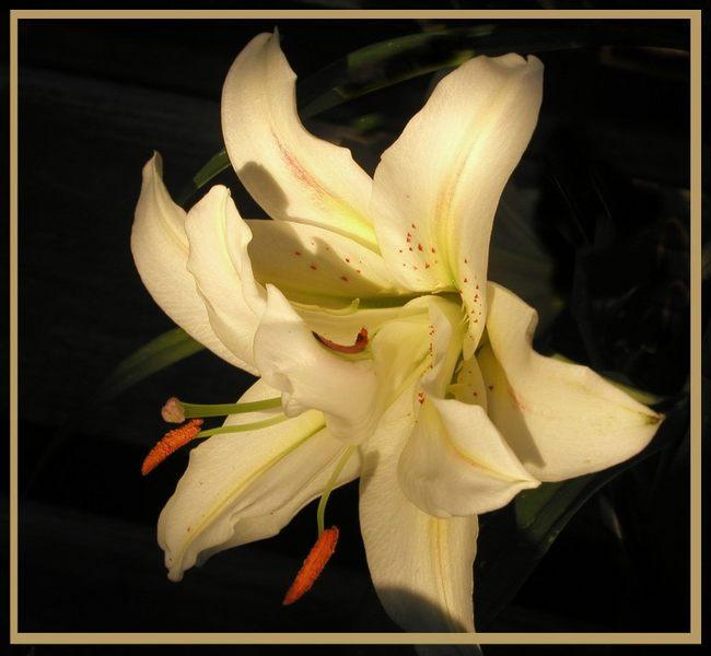 Lilie am Abend