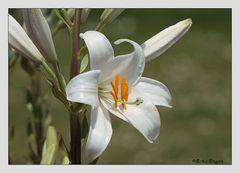 lilie blanc