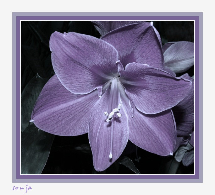 Lilie extrem