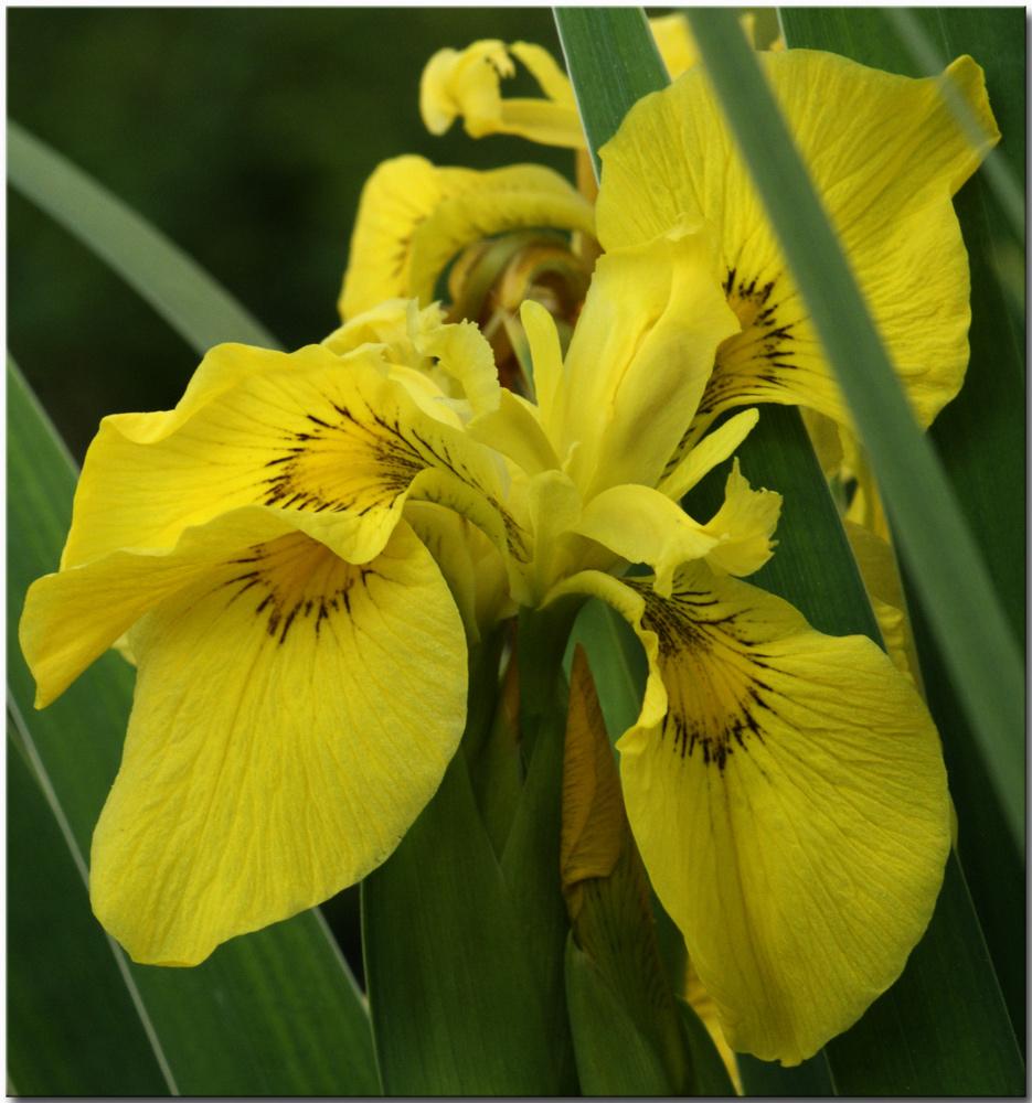 lilie gelb foto bild pflanzen pilze flechten bl ten kleinpflanzen iris und lilien. Black Bedroom Furniture Sets. Home Design Ideas