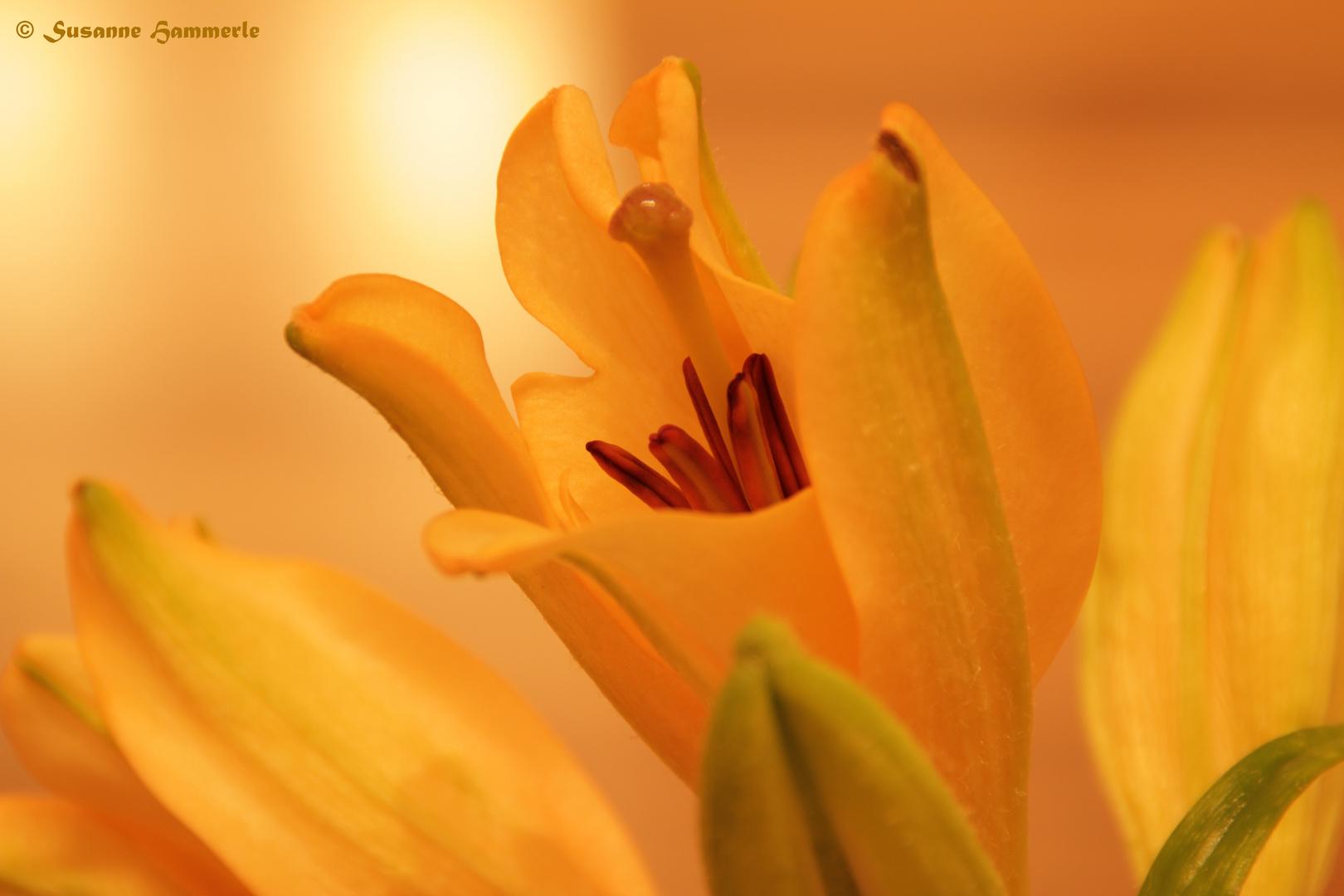 Lilie im Erwachen