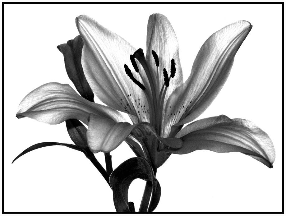 Lilie im Gegenlicht