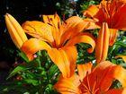 Lilie in der Sonne - Farbe satt