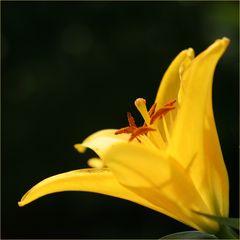 Lilie in Gelb