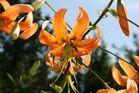 Lilie mit Besuchern