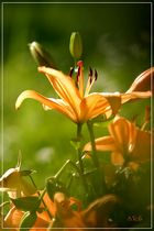 Lilie orange