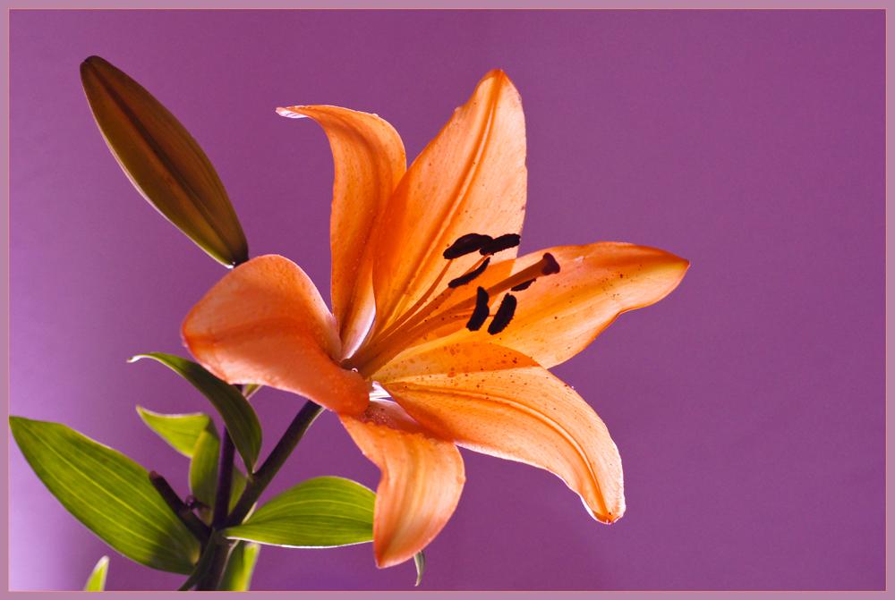 lilie orange auf lila foto bild pflanzen pilze. Black Bedroom Furniture Sets. Home Design Ideas